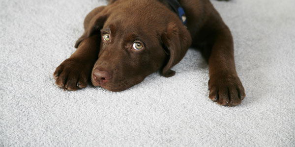 What is the best way to deal with pet urine on carpet?